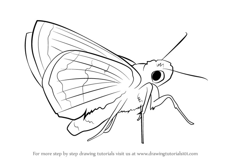 800x565 Learn How To Draw A Leonard's Skipper (Butterflies) Step By Step