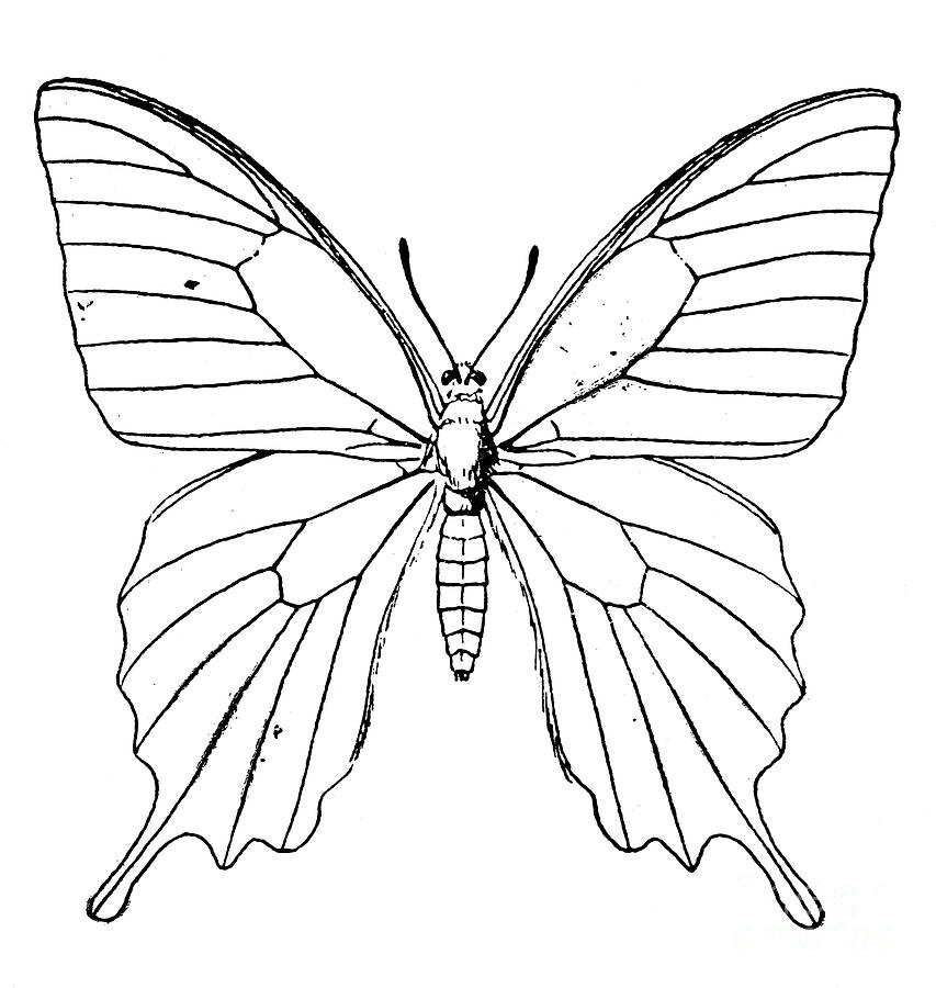 Butterfly Line Drawing at GetDrawings.com | Free for ...