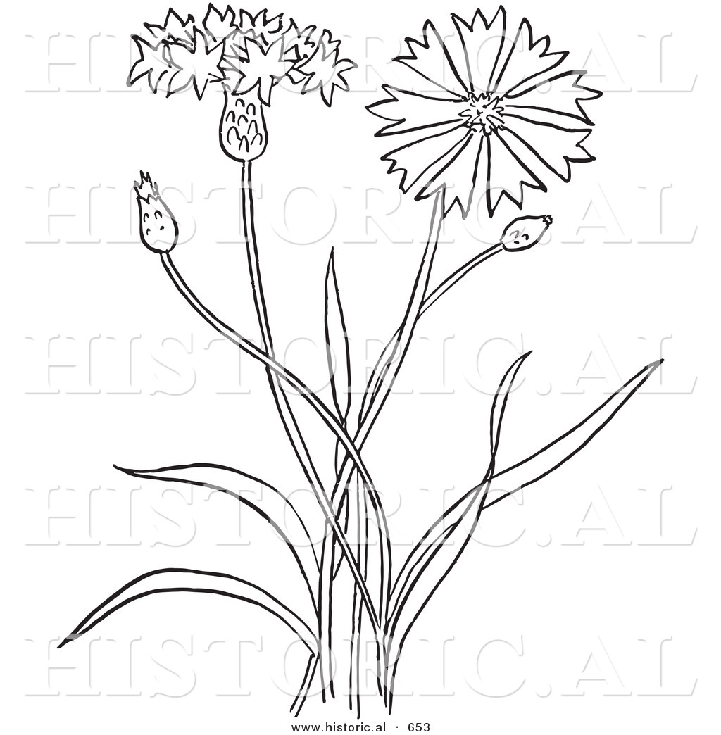 1024x1044 Historical Vector Illustration Of A Bachelors Buttons Plant