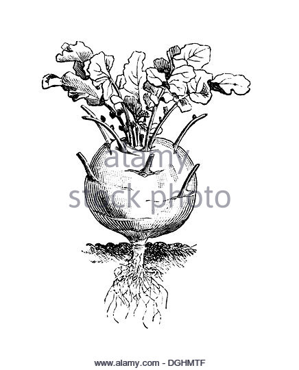 436x540 Illustrations Cabbage Stock Photos Amp Illustrations Cabbage Stock