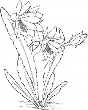 286x360 Cactus 6 Coloring