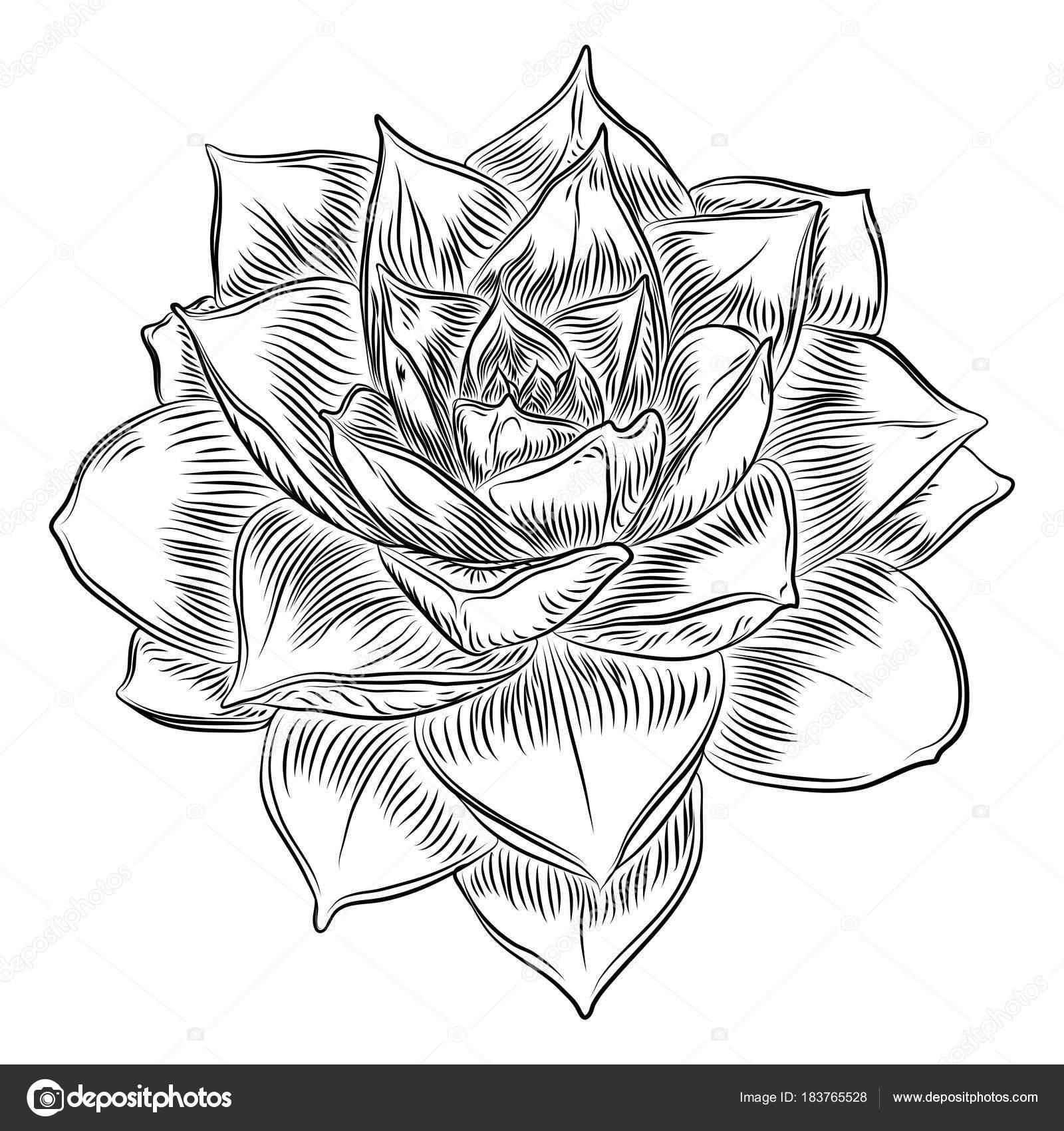 1600x1700 Succulent Cactus Flower, Hand Drawn Terrarium Echeveria Cacti