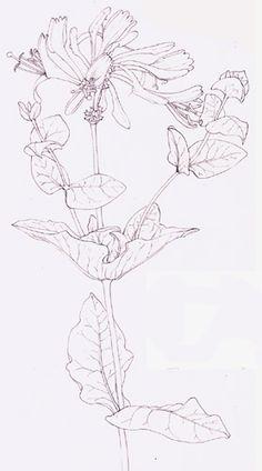 236x424 Line Drawing On Japanese Knotweed By Lizzie Harper Flowers