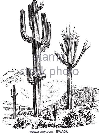 399x540 Cactus Antique Drawing Engraving Stock Photos Amp Cactus Antique