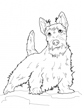 262x350 Scottish Terrier Coloring Page Great Scots