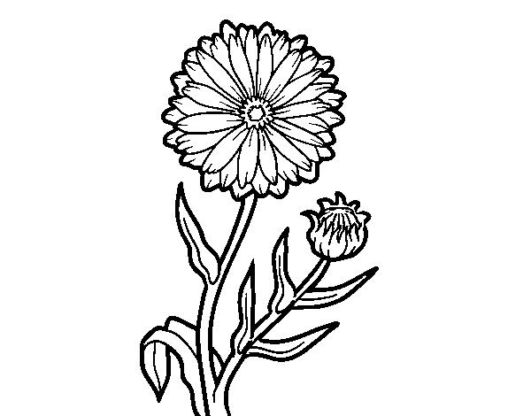 Marigold Flower Line Drawing : Marigold plant drawing pixshark images