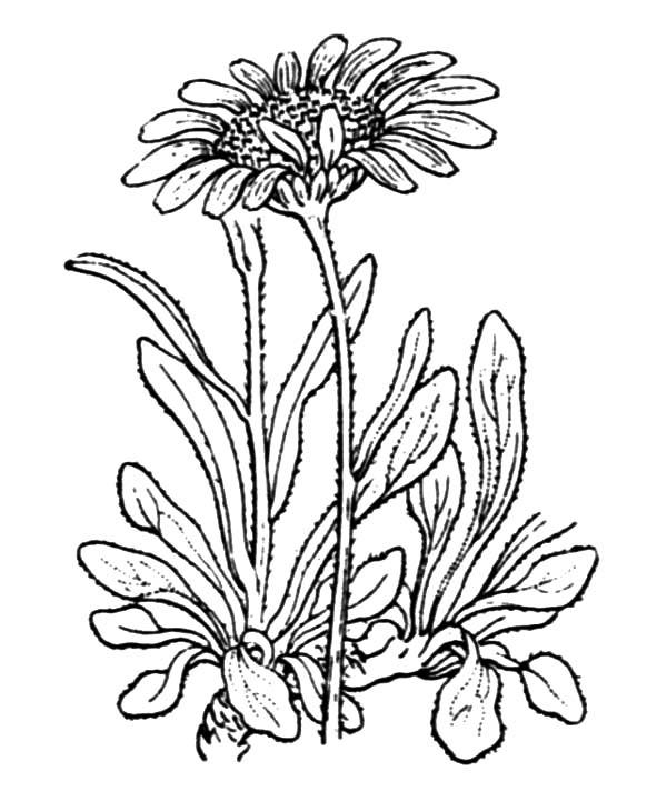 Calendula Flower Drawing at GetDrawings.com   Free for ... Calendula Flower Drawing