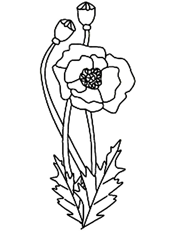 600x801 California Poppy Drawing California Poppy, California Poppy