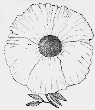 307x355 California Poppy Drawing Free Vintage Art