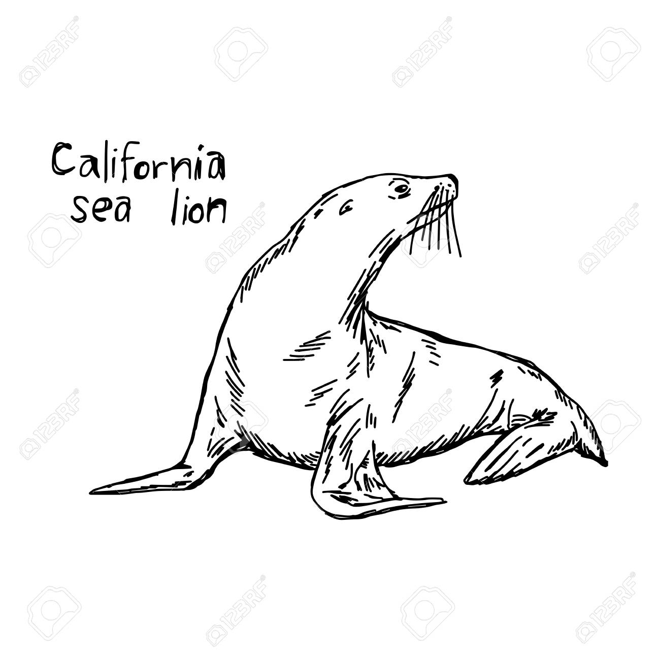 1300x1300 California Sea Lion