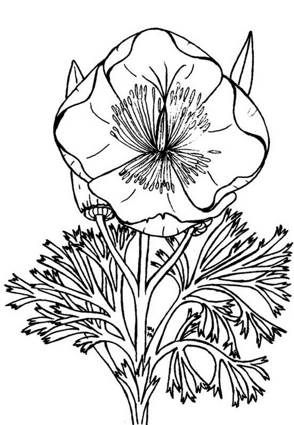 600x866 Eschscholzia California Poppy Coloring Page Color Luna