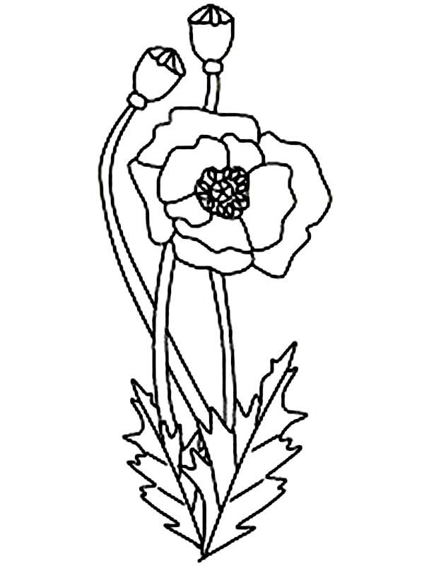 600x801 California Poppy Drawing California Poppy, California Poppy