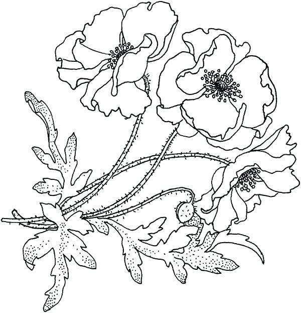 600x623 Poppy Coloring Page Click To See Printable Version Of Oriental