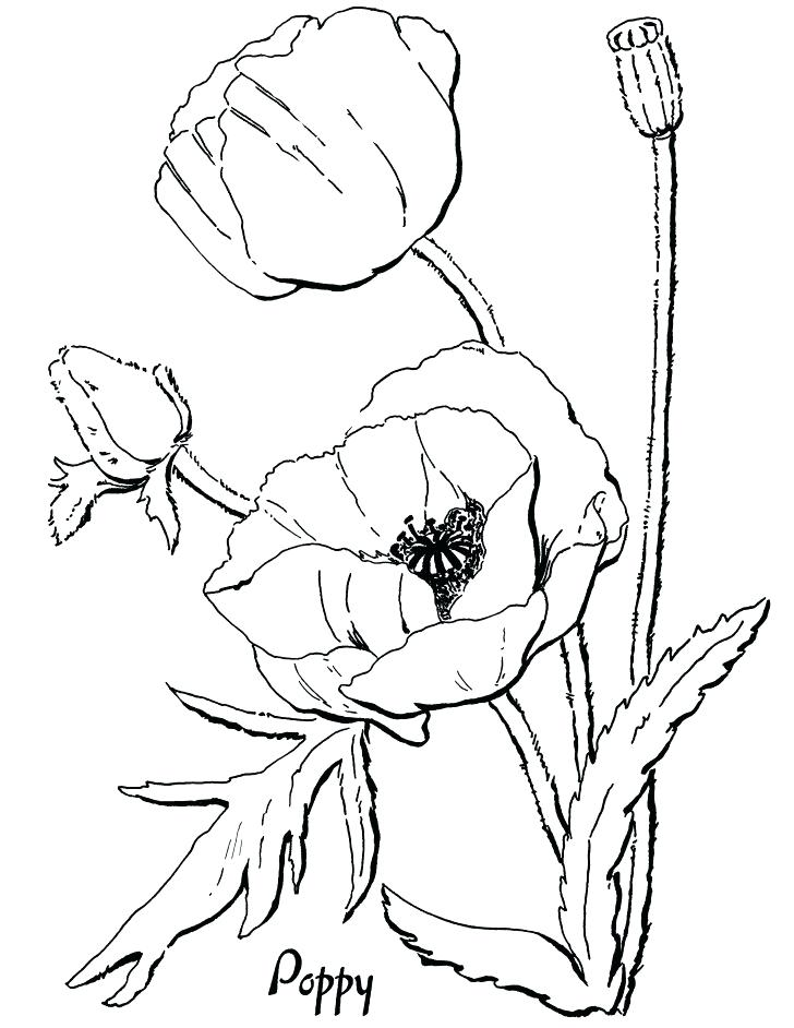 728x942 Poppy Coloring Page Pin Drawn Poppy Memorial Day 7 Poppy Coloring