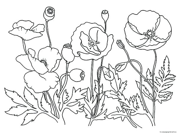 600x450 Poppy Coloring Pages Garden Of Poppy Coloring Page California