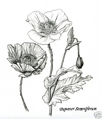 343x400 Papoula Ink Drawings, Flower Art And Drawing Reference