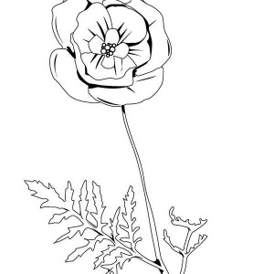 300x300 Drawing Of A Golden Poppy How To Draw A Golden Poppy Step By Step