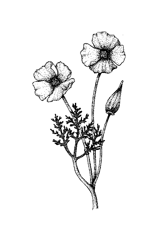 512x737 California Poppy Drawing Displaying (16) Gallery Images