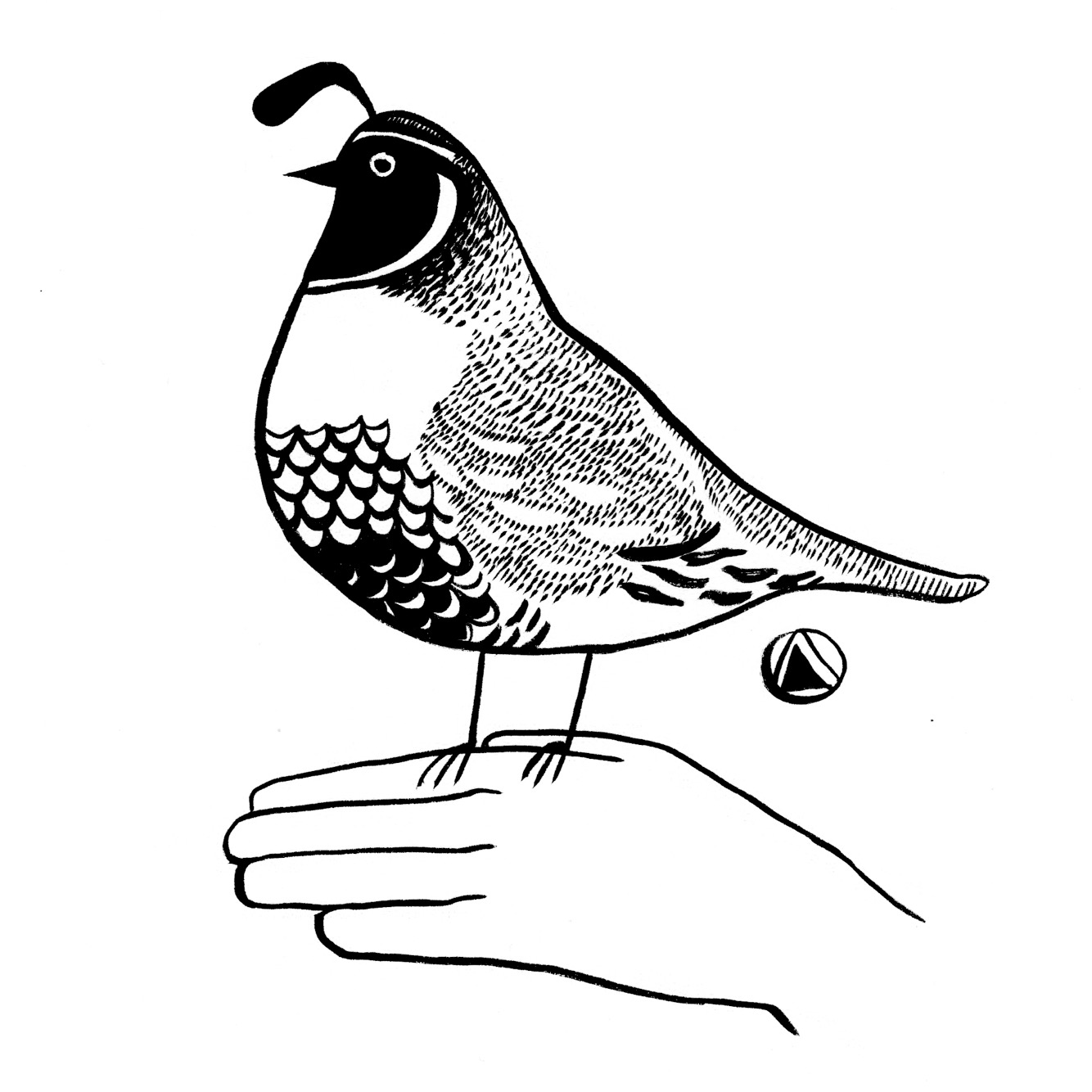California Quail Drawing at GetDrawings.com | Free for personal use ...