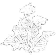236x236 How To Draw A Calla Lily Step By Step. Drawing Tutorials For Kids
