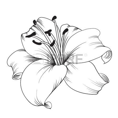 how to draw a calla lily
