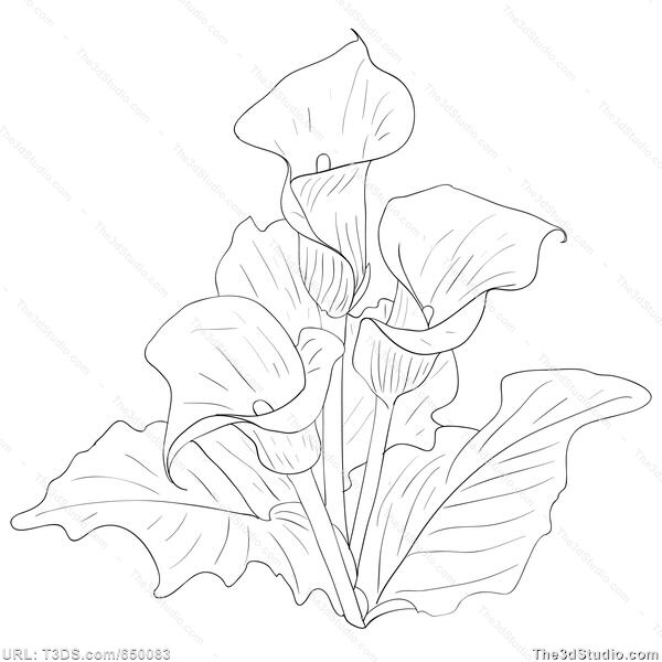 Calla Lily Flower Drawing At Getdrawings Free Download