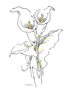 236x314 Charcoal Drawing Of Calla Lilies Artist
