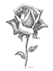 225x300 Calla Lily Drawings Pixels