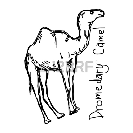 450x450 995 Camel Sketch Stock Vector Illustration And Royalty Free Camel
