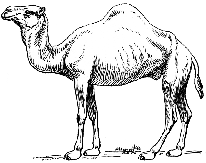 700x554 Sketches Of Camels In The Desert Camel 2 Camel Dromedary 2