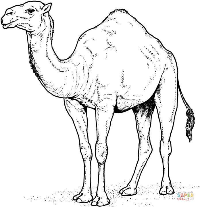 Camel Drawing For Kids