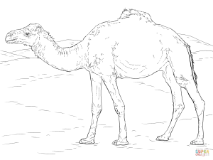 Line Drawing Of Desert Animals : Camel drawing images at getdrawings.com free for personal use