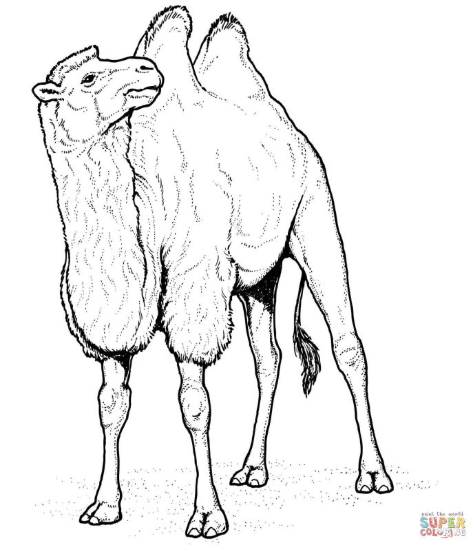 687x791 Coloring Pages Stunning Camel Coloring Pages Page Camel Coloring