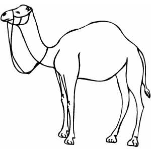300x300 Camel Outline Picture Outline Pictures Outline