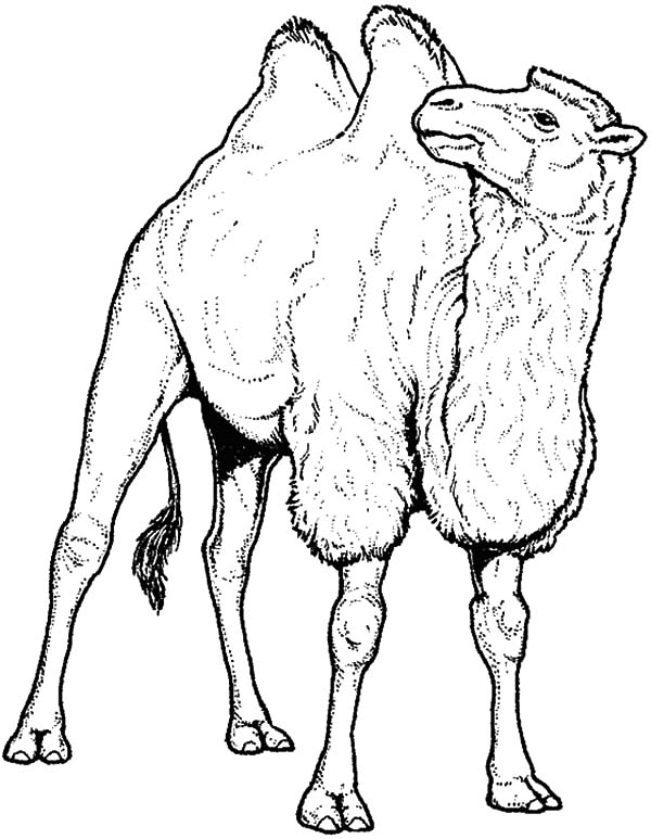 600x773 Drawing Bactria Camel Coloring Pages Bulk Color