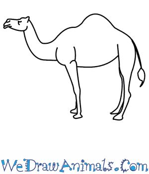 Camels Drawing