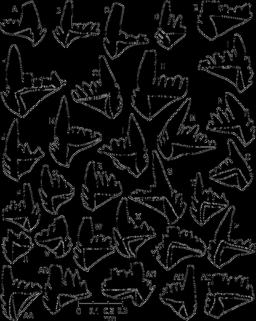 850x1067 Camera Lucida Drawings Of P Elements Of Microzarkodina