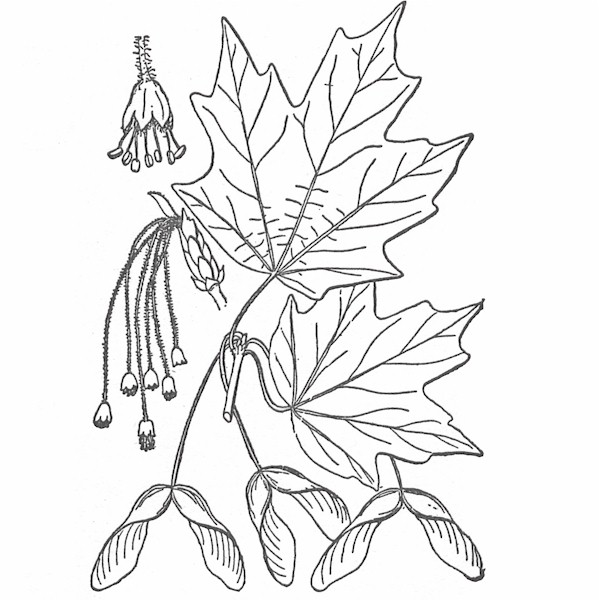 600x600 Canadian Maple Leaf Colouring Page With Abstract Drawing In Mind Differences Between Hard And Soft The Wood Database