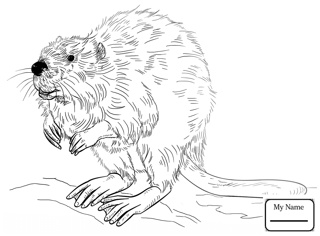 Canadian Beaver Drawing at GetDrawings