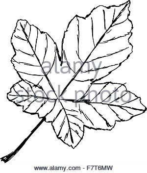 300x353 Hand Drawn Maple Leaf Canada Day Card In Vector Format Stock