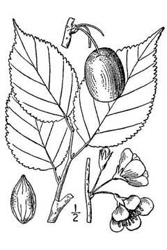 240x360 Prunus Nigra Canadian Plum Pfaf Plant Database
