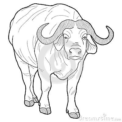 Cape Buffalo Drawing