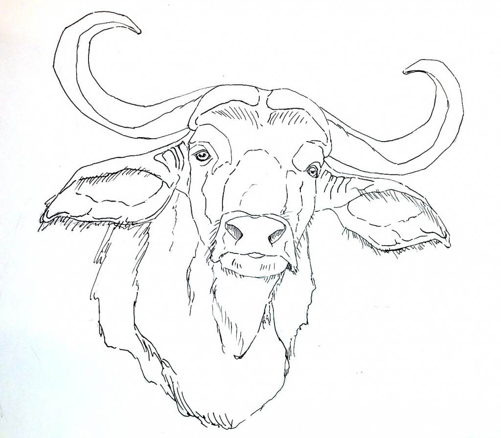 1024x897 Drawing Of A Buffalo How To Draw An African Cape Buffalo Youtube