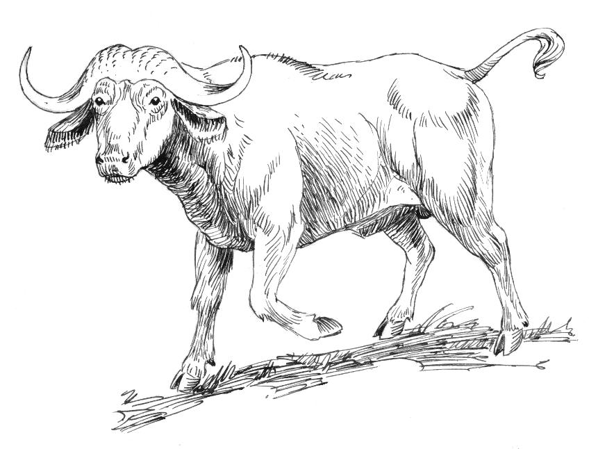 884x646 Fileafrican Buffalo 001.jpg