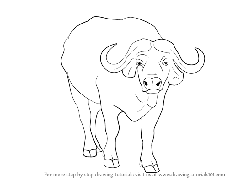 800x567 Step By Step How To Draw An African Buffalo