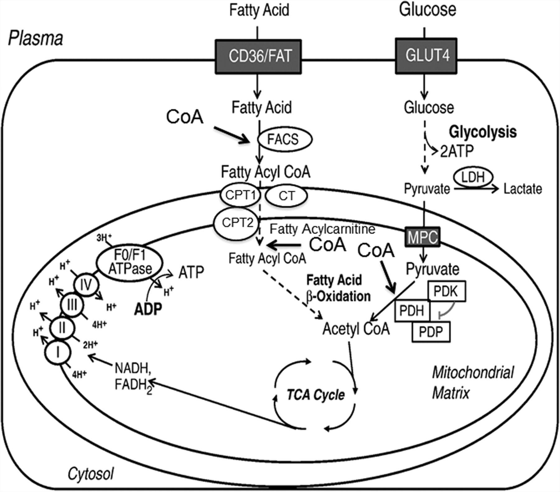 1800x1581 Role Of Coa Acetyl Coa In Regulating Cardiac Fatty Acid