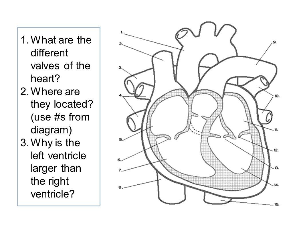 Cardiac Cycle Drawing
