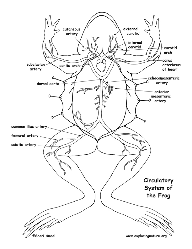 Cardiovascular system drawing at getdrawings free for personal 612x792 frog circulatory system diagram and labeling ccuart Images