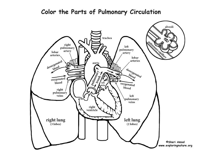 792x612 Pulmonary Circulation Coloring Page Professional Development