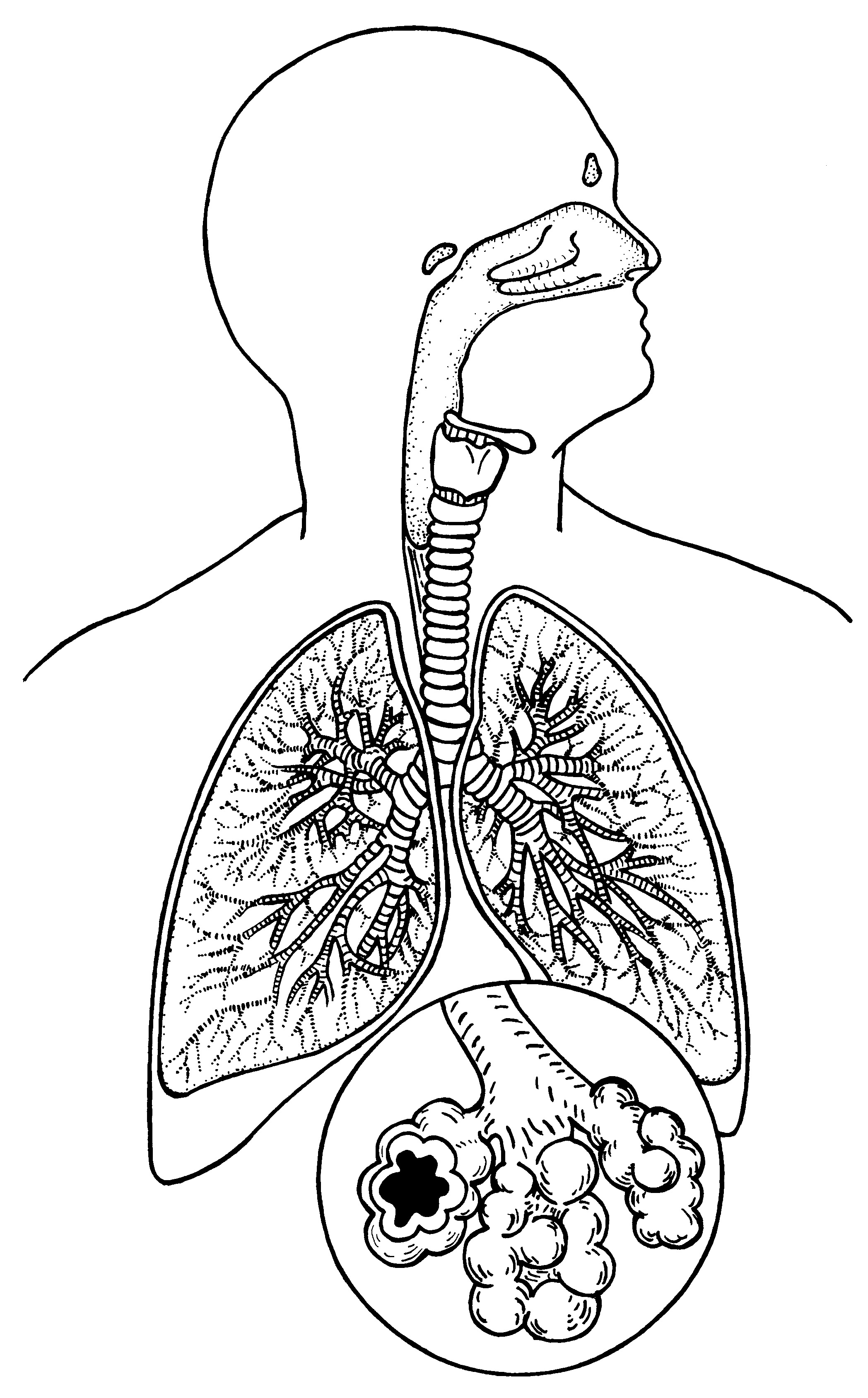 Respiratory System Coloring Sheets To Print Cardiovascular Drawing At GetDrawings